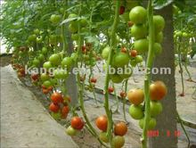 ISO Stronger disease resistance red and yellow TOMATO SEEDS--big fruit!!