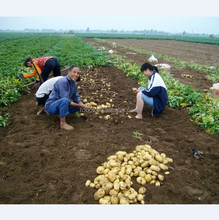 wholesale 2018 new crop fresh holland potato best exporter from china