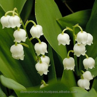 Lily of the Valley Oil from India
