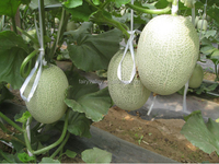 High sweetness hybrid muskmelon seeds hami melon for Growing-Xiang Honey No.5