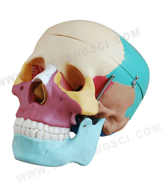 SF-104C Life-size colored skull