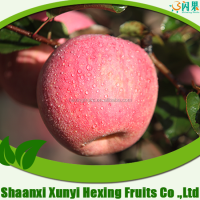 Fruits Rich Vitamin d Fresh Apple Fruit from shaanxi