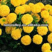 Planting Hybrid F1 Orange/Yellow/Golden Marigold Seeds