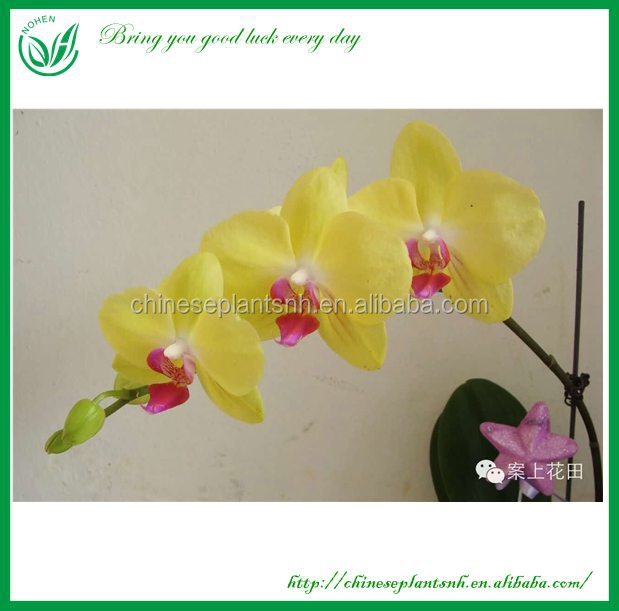 Living Orchid Plants