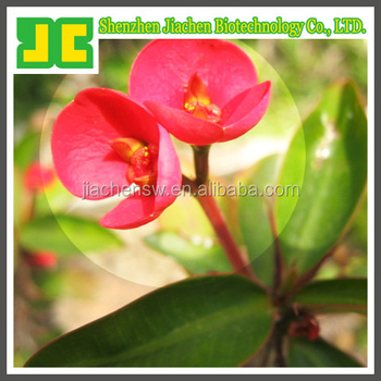 100% Natural plant extract Crown of Thorns Extract