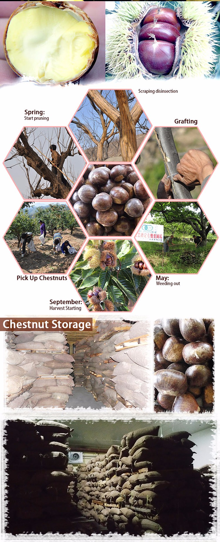 raw taian chestnut