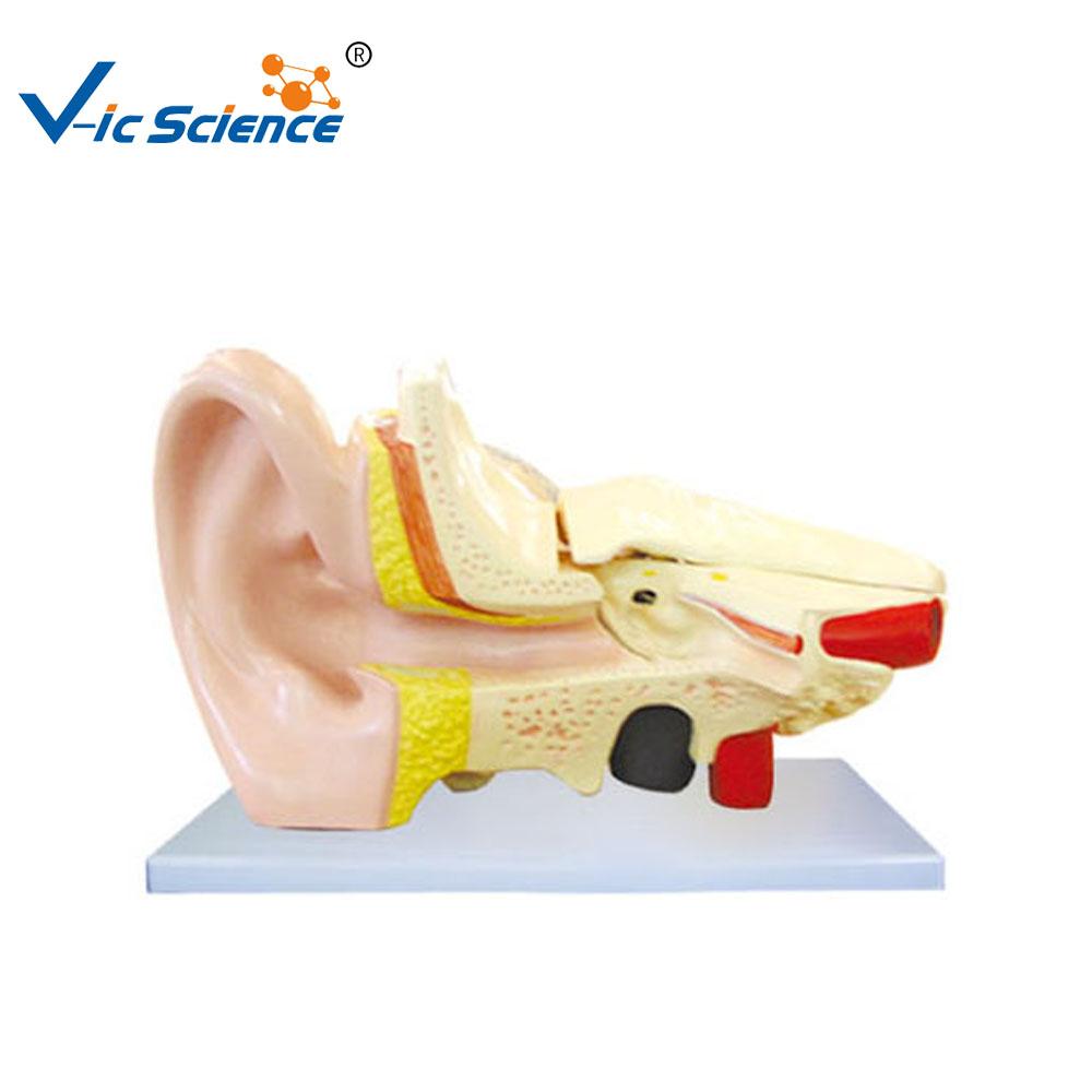 Human Ear Models,Ear Anatomy Model,Plastic Ear Model - Buy Human Ear ...