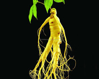 factory supply American ginseng stem leaf extract