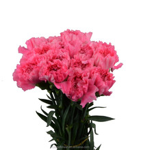 Export high quality Deep Pink smiling face carnation flowers; multi-colored, orange, yellow from sunshine yunnan