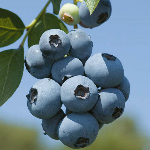 Pure nature Bilberry Extract with free sample in 2014