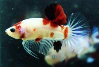 Koi betta buy sale koi betta product on for Live koi fish for sale