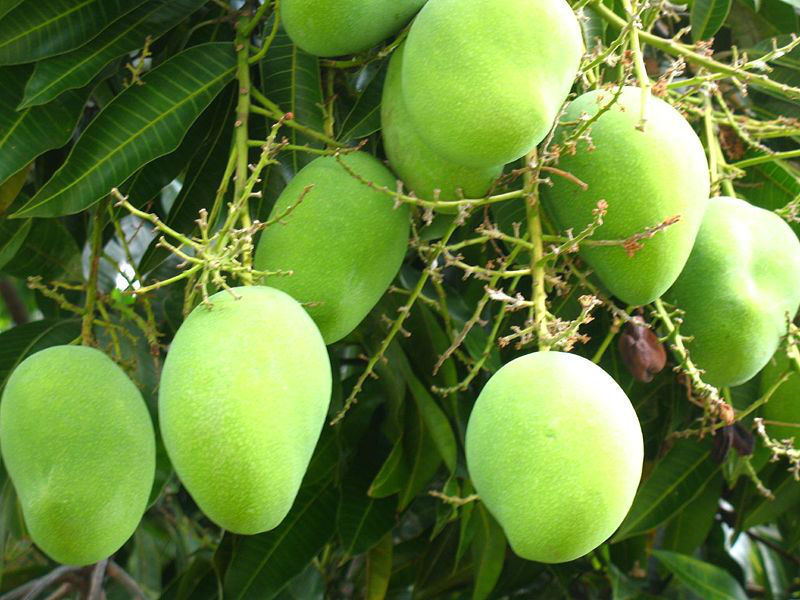 SINDHRI & CHAUNSA MANGOES FROM KARACHI PAKISTAN
