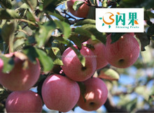 2015 new season fruit Fresh Apple/Apple from fruit Fuji apple factory