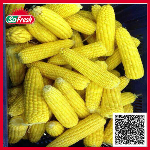 Chinese Canned baby cut corn canned vegetables in cans