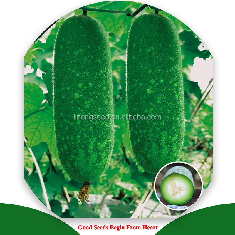 New bred excellent quality and high yield HYX F1 hybrid zucchini seed