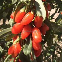 Pesticide Free Goji Berry