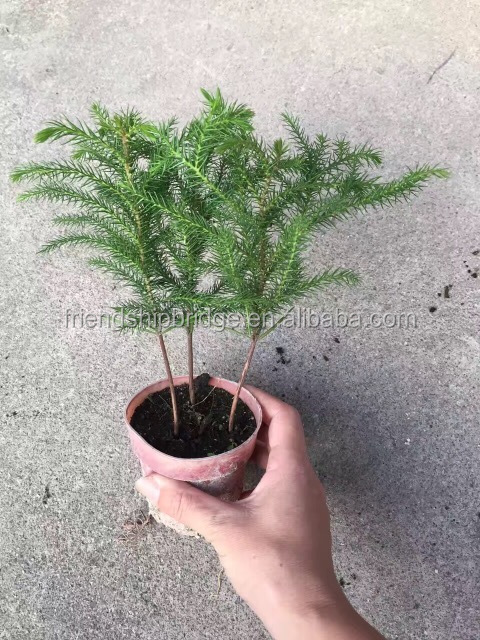 Outdoor foliage plant Araucaria cunninghamii Sweet tree