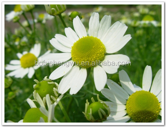 Herbs extraction Chamomile Extract Liquid for sale