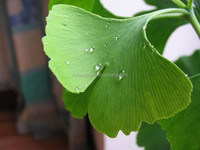 New arrival in 2015 powder Ginkgo biloba L