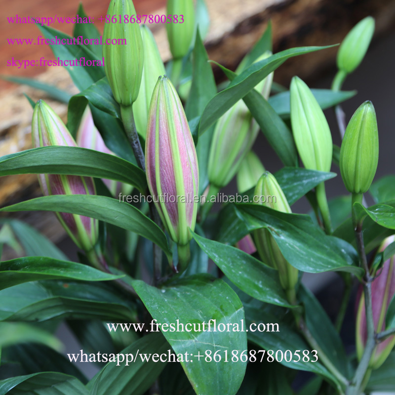 The Best Quality Red Asiatic Lily And Low Price from China to world