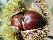 2017 Taian Organic Fresh Raw Sweet Chestnuts for Sale with factory price