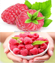 Black Raspberry Powder Extract Wholesale Raspberry Fruit Extract 99% Raspberry Ketone Powder/ Raspberry Fruit P.E in Bulk
