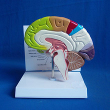 3D anatomical brain model, for medical research, color PVC