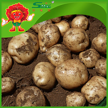 Free of contamination Pakistan potato