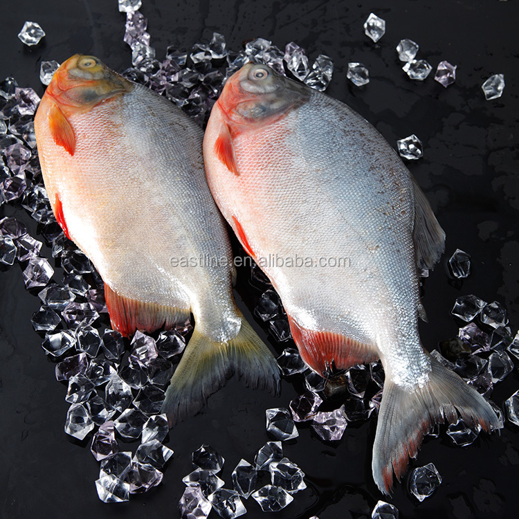 Good Quality Pacu Fish to African Market