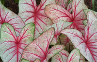 Caladium Fancy Leave Flower Bulbs
