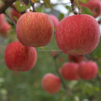 China best supplier export fresh fruit red fuji apple with competetive price