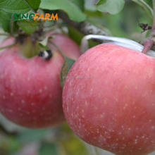 Grade A organic fresh fuji apple