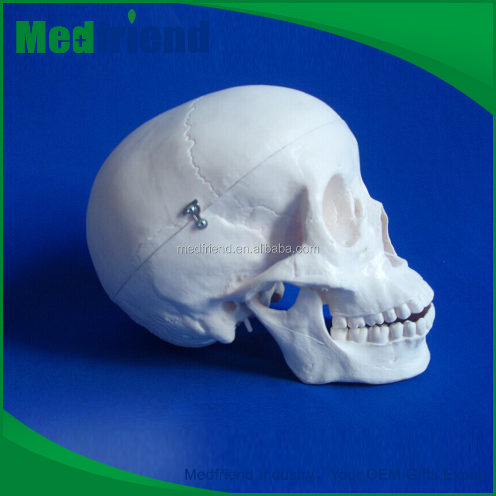 MFM004 Buy Wholesale From China Life-Size Anatomical Skull Model