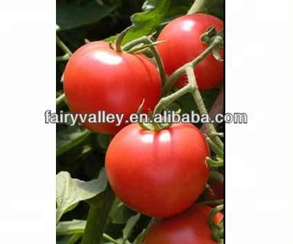 High Yield Early Maturity Indeterminate Growth Big Red F1 Hybrid Tomato Seeds For Growing-Rui Hong No.1