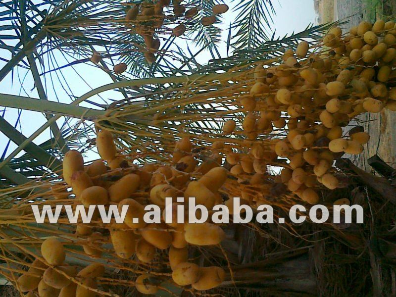 Fresh Sweet omani dates for sells