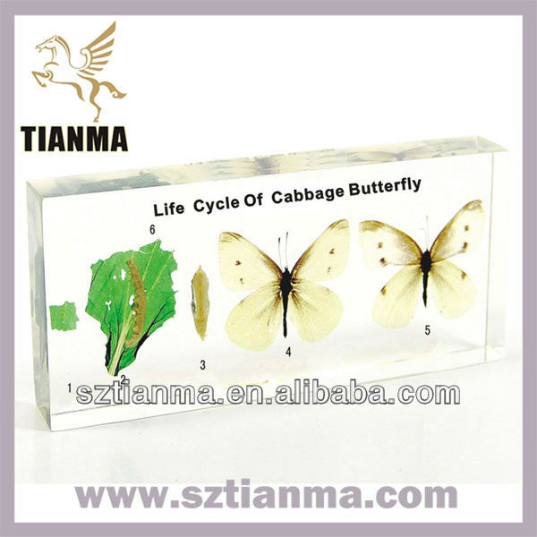 Wholesale 3D specimen life cycle of cabbage butterfly