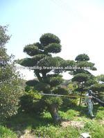 Garden Tree Podocarpus Japanese Big Bonsai