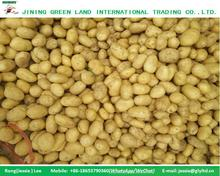 CHINA GOOD SIZE FRESH POTATO WITHOUT PESTICIDE/SPROUT