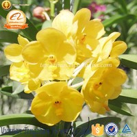 New Pretty Style low price fresh cut orchid flowers Colombia