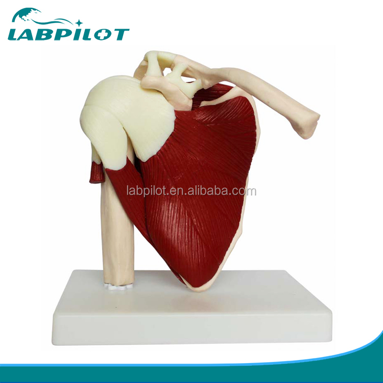 Life Size Muscled Shoulder Joint,Life Size Shoulder Joint with Muscle
