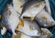 philippine products Gold pomfret