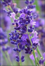 China Bulk Dried Lavender Flowers Xunyicao Flower Natural Lavender