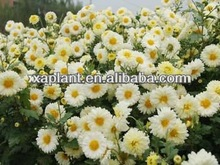 100% Natural organic chamomile flower