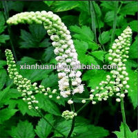 Good Quality Black Cohosh cimicifuga racemosa nutt