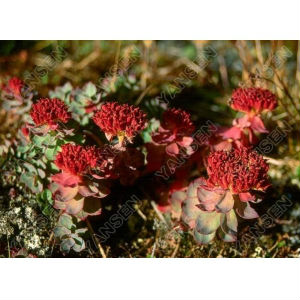 Pure nature Rhodiola Rosea Powder Extract in 2014