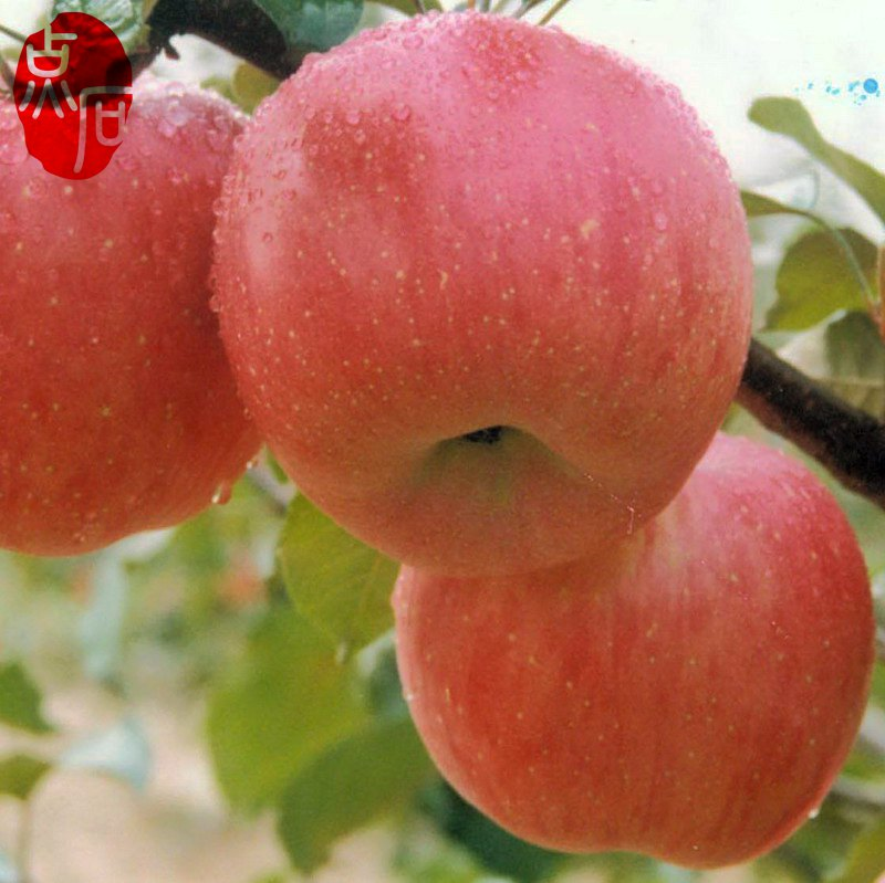 Hot Sale Fresh Fuji Apples From China