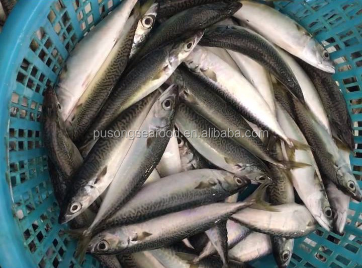 Pacific mackerel Rich nutrition for canned wild catched low price