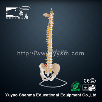 With femoral basin flexible plastic spine model for education