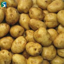 Wholesale high quality large delicious cheapest price of fresh potatoes