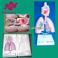 Lung model with pull card